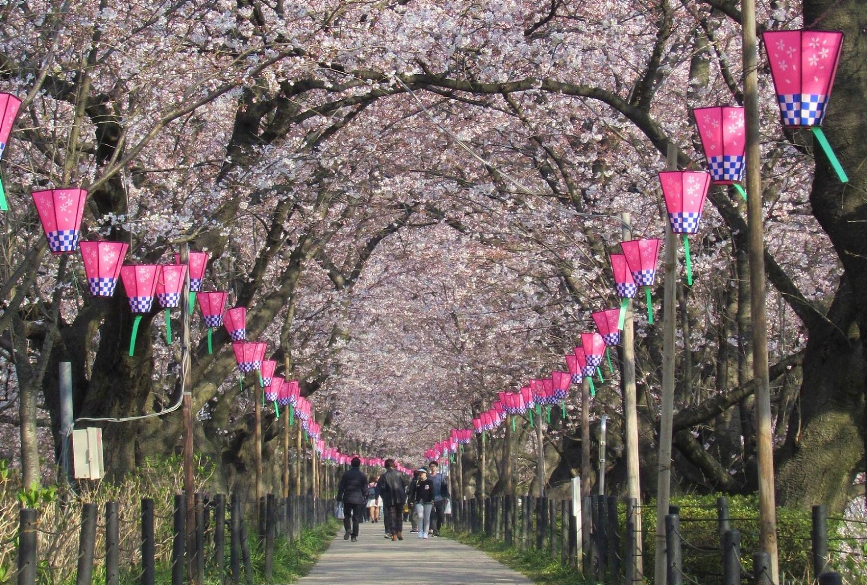 Gongendo Park Cherry Tree Archway/Tunnel, Satte City, Japan